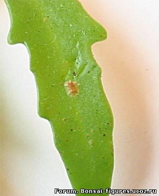 щитовка липкие листья у комнатных растений болезнь